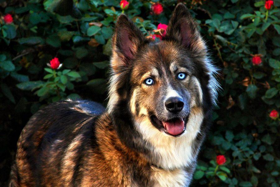 about shepsky dog
