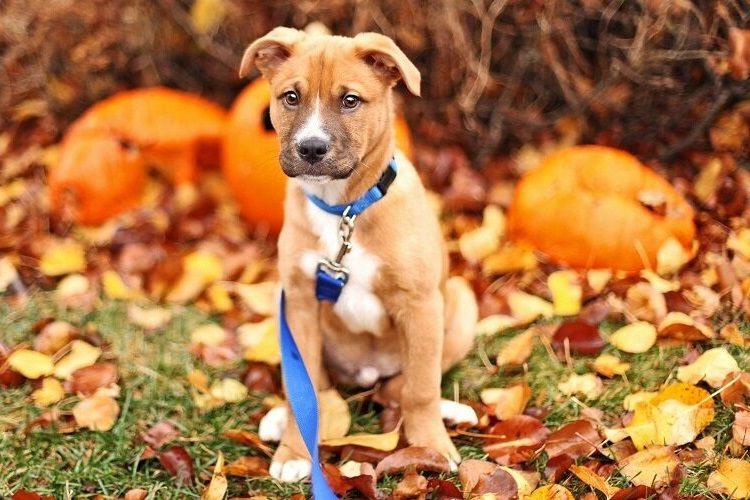 cute shepeherd pitbull puppy