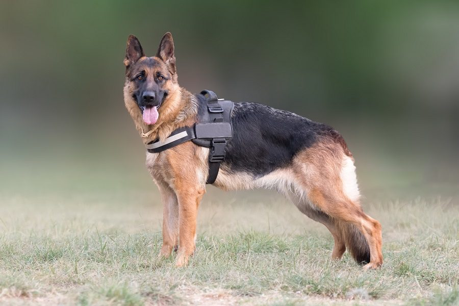 Our Top picks of best harnesses for german shepherds