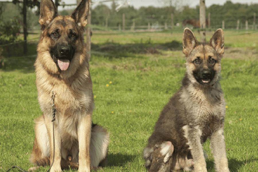 German Shepherd with dwarfizm