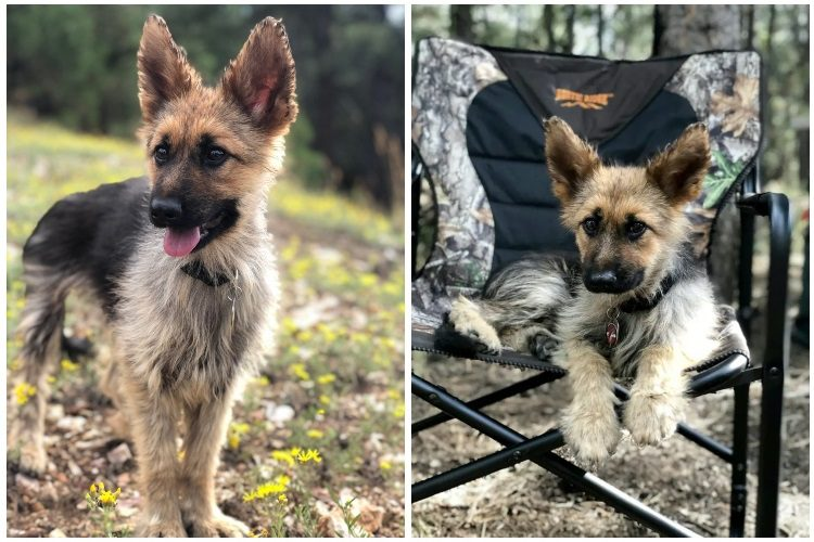 how to care for german shepherd with dwarfism
